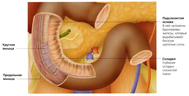 Рак двенадцатиперстной кишки: расположение, симптомы и признаки